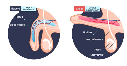 Erectile Dysfunction is the Difficulty or Inability of the Corpus Cavernosum to Fill With Blood